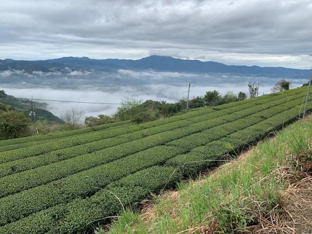 さつま町茶畑.jpg